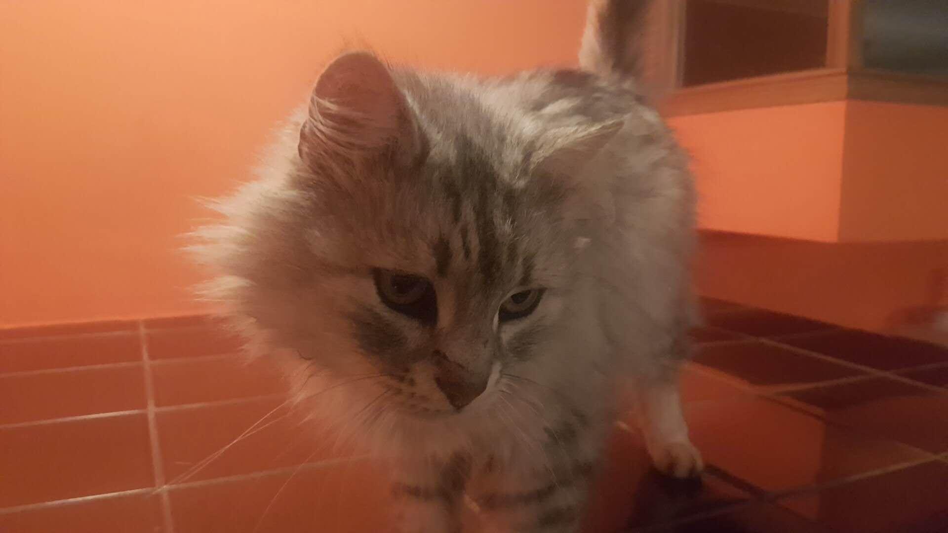 this is my kitty snowball kepo kepko
